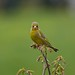 Greenfinch in the Green