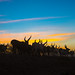 Silhouette of an afar tribe man with his cows at sunset, Afar region, Afambo, Ethiopia by Eric Lafforgue