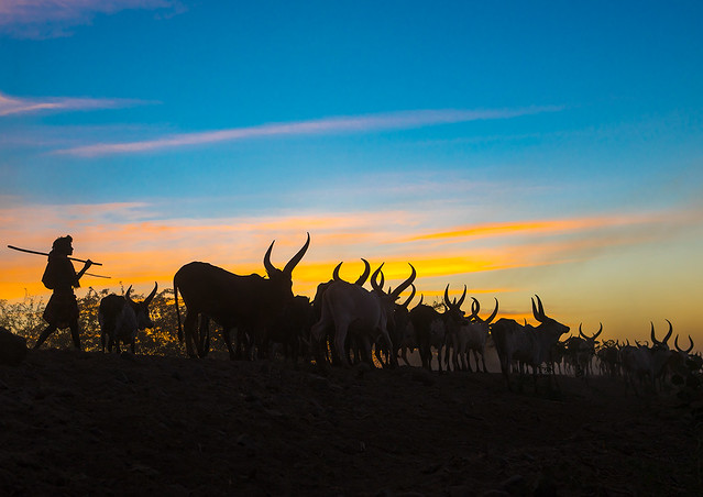 Afar man with his cows back home at sunset in Danakil,  Afambo, Ethiopia