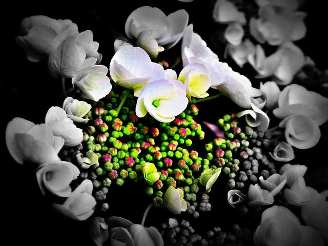 Flowers-Serie, Hydrangenia, 73435/6133