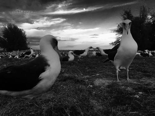 sunset island midway albatross laysan
