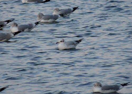 Mediterranean Gull Ichthyaetus melanocephalus Tophill Low NR, East Yorkshire February 2016