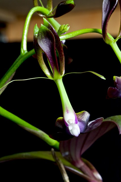Epidendrum melanoporphyreum 24430628970_8859ba7408_z