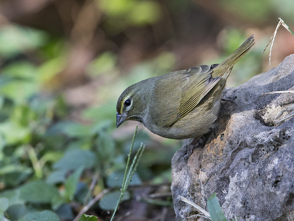 Yellow-faced Grassquit    Cuba