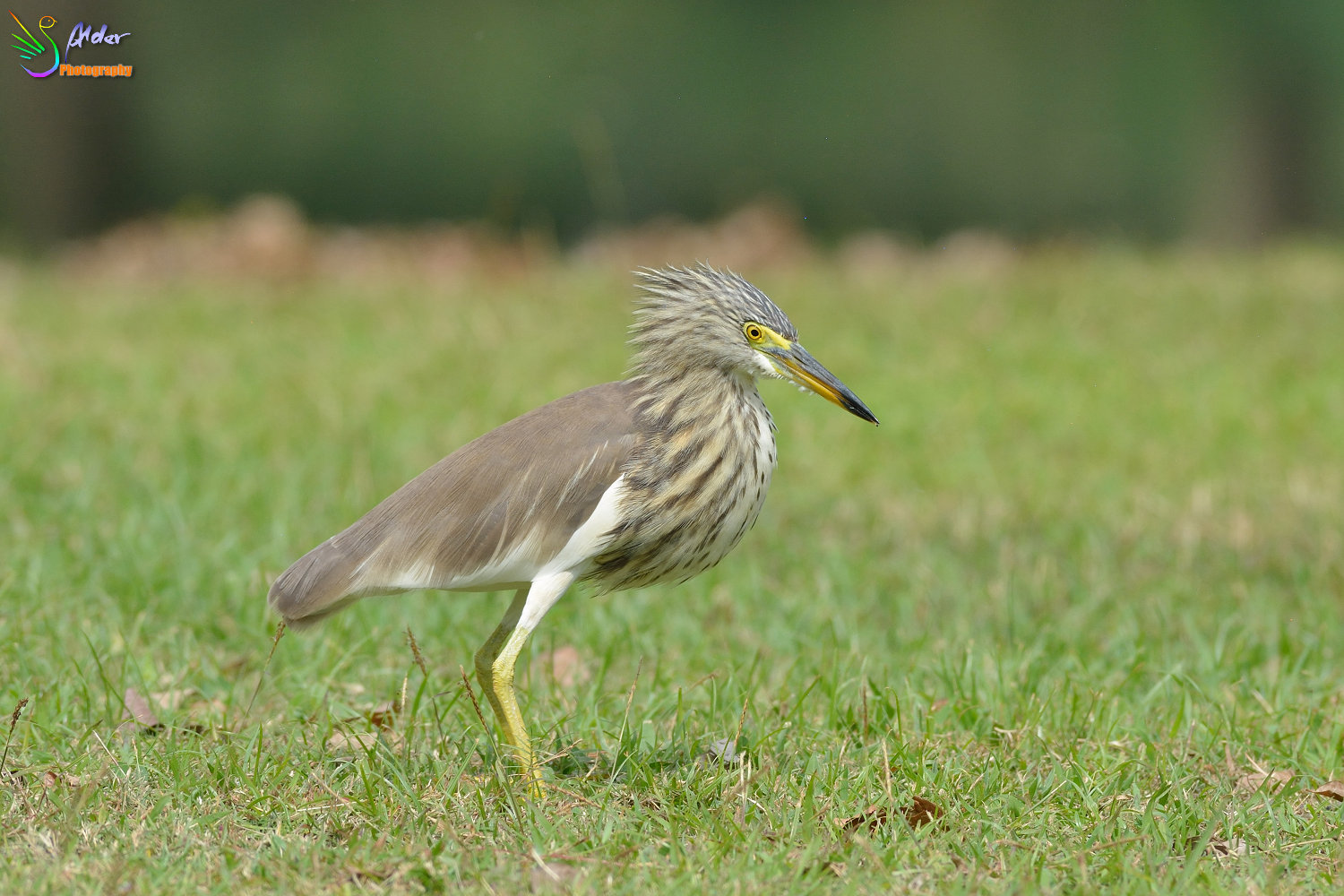 Chinese_Pond_Heron_1378