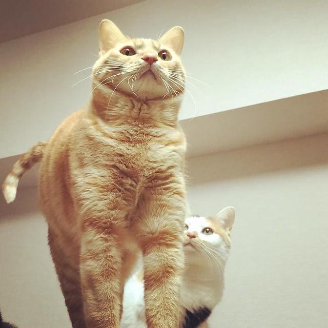 猫マッチョ💪 #cat #cats #catsofinstagram #catstagram #instacat #instagramcats #neko #nekostagram #猫 #ねこ #ネコ# #ネコ部 #猫部 #ぬこ #にゃんこ #フワモコ部