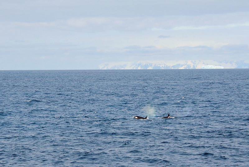 Antarctic orcas