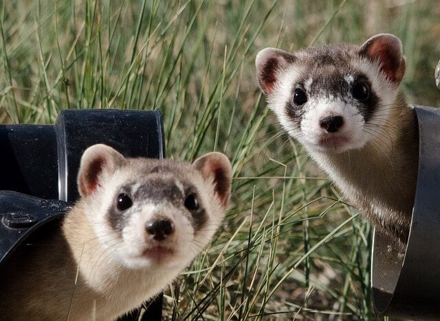 black-footed-ferrets_640