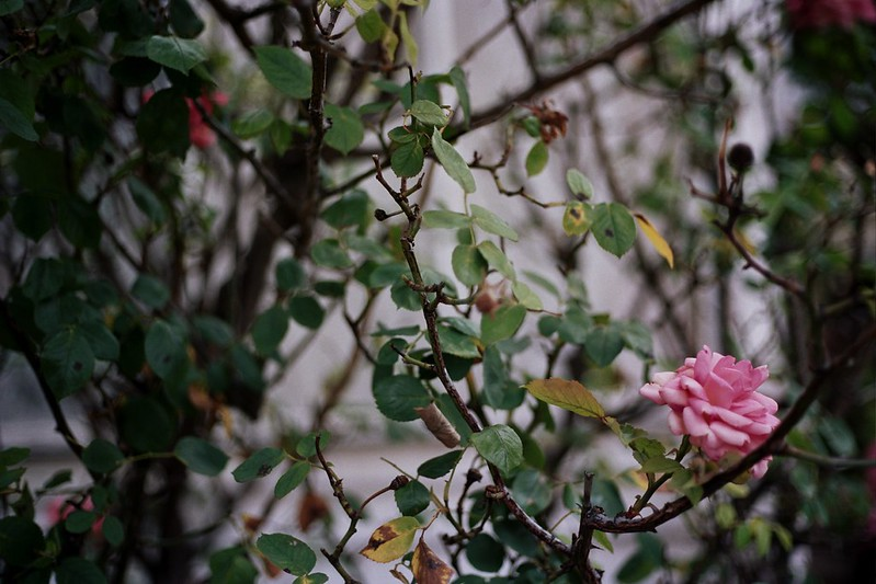 Hobart flowers // Schorlemädchen