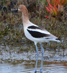 American Avocet at Runway Wetland, Alameda Point