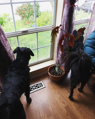 Maggie and Bear Cub are VERY interested in that cat across the street. 😸