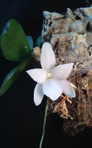 Aerangis fastuosa, first bloom