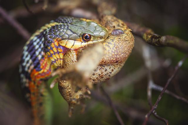 Garter Snake eating frog - Algonquin Park, ON, Canada