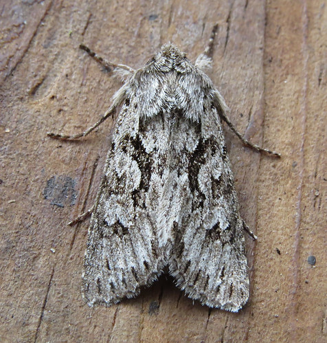 Early Grey Xylocampa areola Tophill Low NR, East Yorkshire April 2016