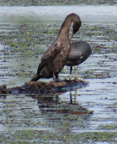 birds birding neotropiccormorant duckcreekconservationarea