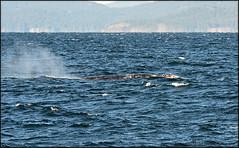 Humpback-Minke-Grey- Whales
