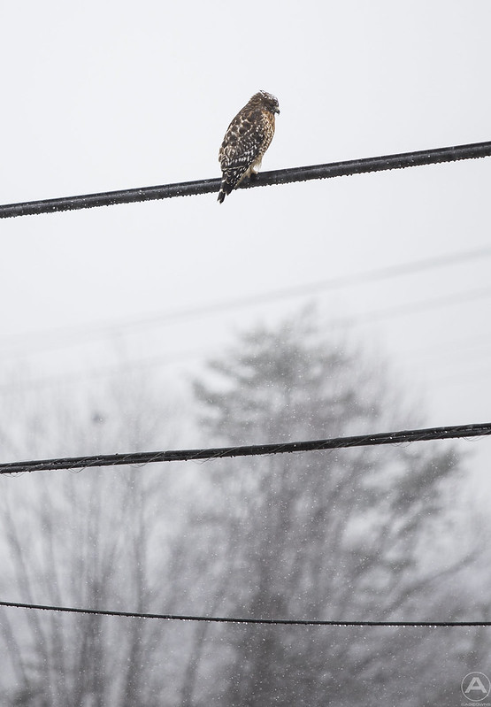 Snow hawk zoomed out (1/1000 shutter)