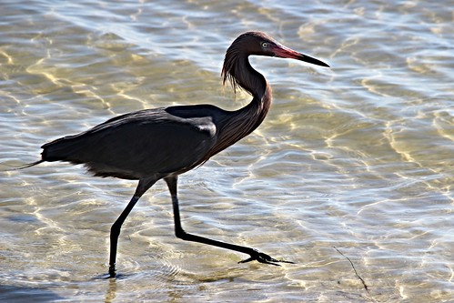 IMG_6996_Reddish_Egret_at_Howard_Beach