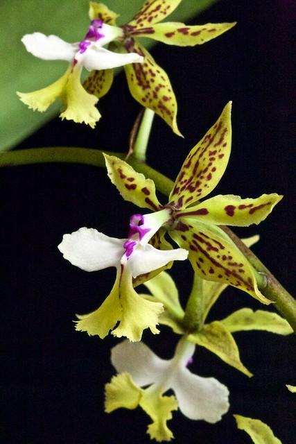 Epidendrum standfordianum 24679147973_82eac34ce4_z