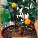 Orange Tree —Brian Wheat, AAF, PFCI, of Lafayette Florist, Gift Shop & Garden Center in Lafayette, Colorado