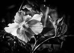 Black and White flora