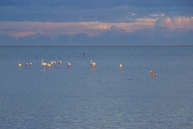 Flamencs i bernat pescaire #amposta #surtdecasaebre #canal21ebre #ebreactiu #viulebre #meteomauri