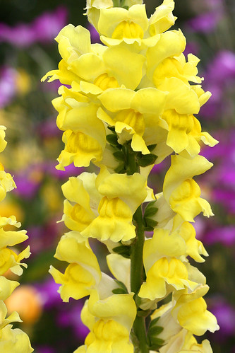 Antirrhinum canary bird