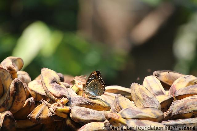 6 - Common Archduke (Lexias pardalis) BMG_wm