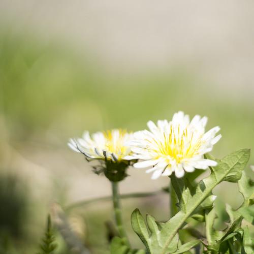 White dandelions. 白花タンポポ, 白花蒲公英