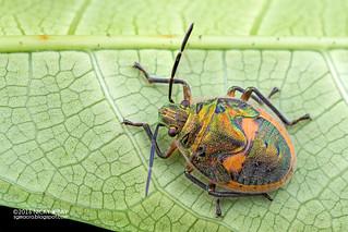 Stink bug nymph (Pentatomidae) - DSC_5226