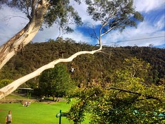 Gum tree and blue sky at the launceston basin... . . . #upsticksandgo #basin #thebasingorge #launcestonbasin #cataractgorge #tourist #travel #michfrost #tasmania #tasmaniagram #instagood #instatravel #instatassie #gumtree #discovertasmania #naturalbeauty