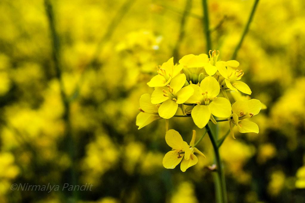 Mustard flower...