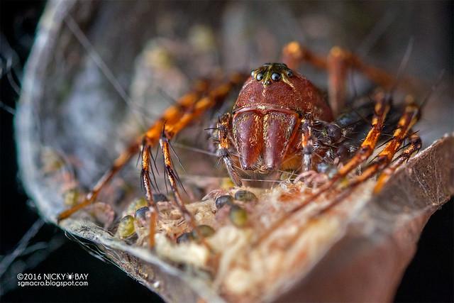 Lynx spider (Hamadruas sp.) - DSC_6770