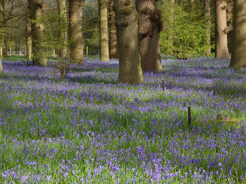 Bluebells near Crowhurst