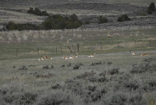 antelope wyoming