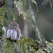 Northern Pygmy Owl by Crisp Image Photography
