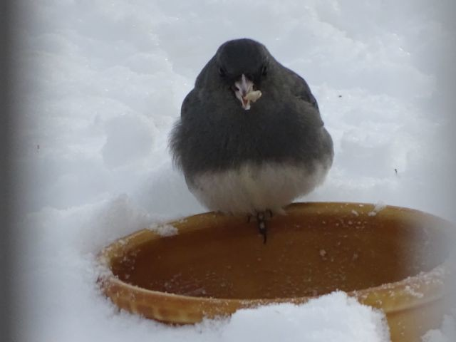 Junco chowing down