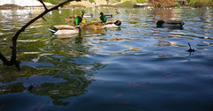 Low-angle ducks
