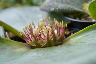 DSC_2374 Massonia latifolia マッソニア ラティフォリア