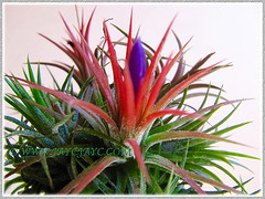 Tillandsia ionantha (Tilly, Air Plant, Blushing Bride): second flowering with vibrant purple torpedo-like protrusion, Dec 26 2015