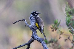 New Holland Honeyeater  ( In the You Yangs )