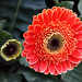 Chrysanthemum - Decorative Flower 3