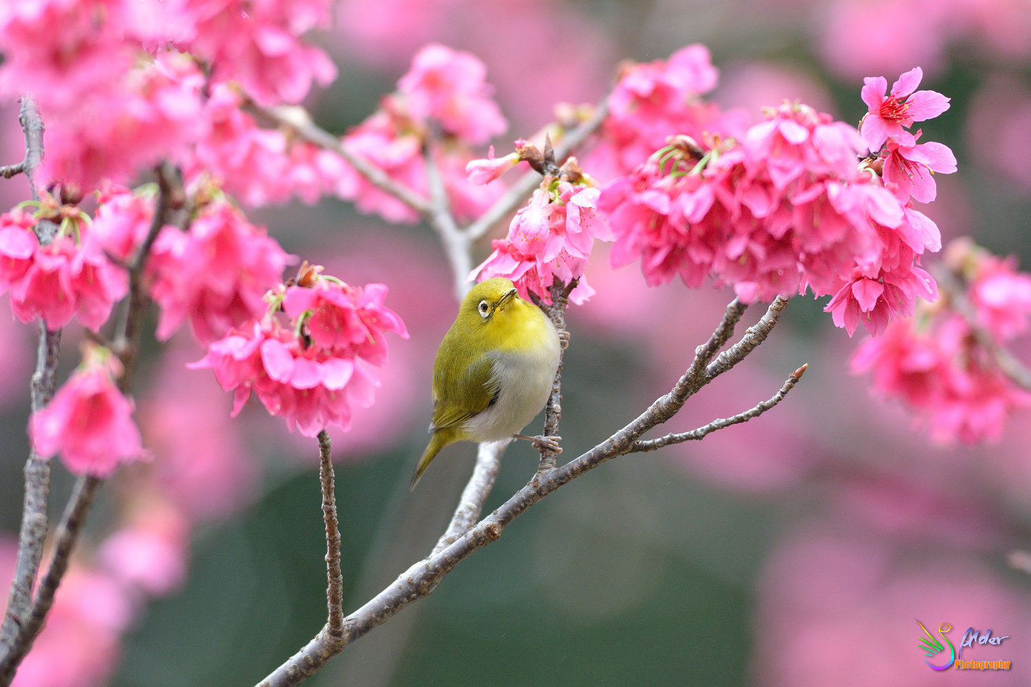 Sakura_White-eye_5899