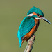 Kingfisher (Alcedo atthis ) Male by Dale Ayres