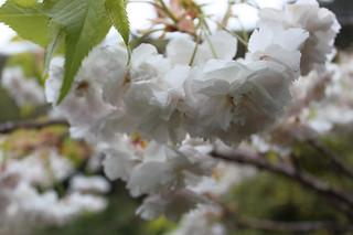 20150502_6002-cherry-blossom_resize
