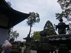 Inkay in Tanabe, Wakayama 8 (Tokei shrine)