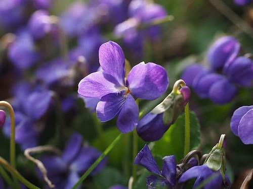 すみれの花 by pixabay