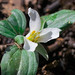 Small photo of Snow Trillium (Trillium nivale)