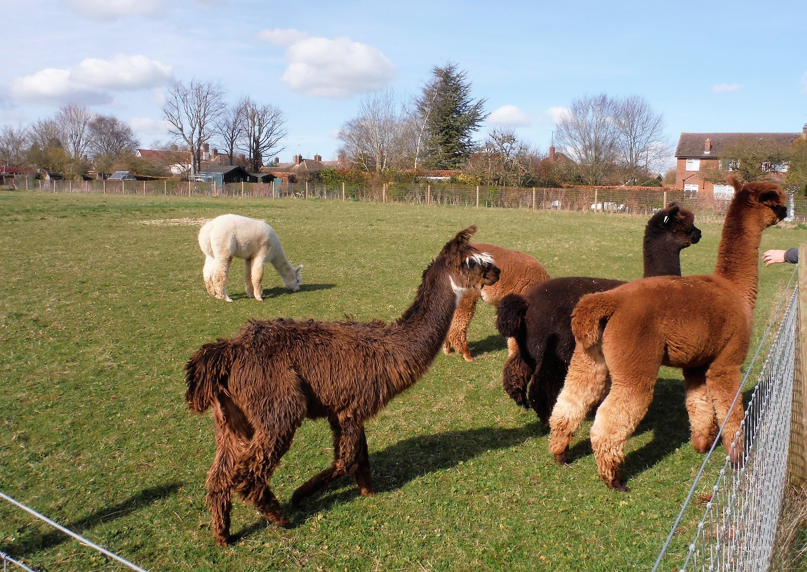 Alpacas SWC Walk 193 Haddenham to Aylesbury (via Gibraltar and Ford)