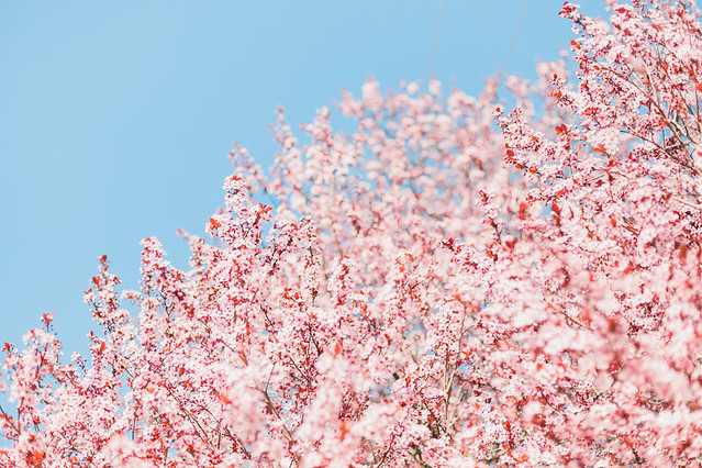 Cherry-Blossoms-37